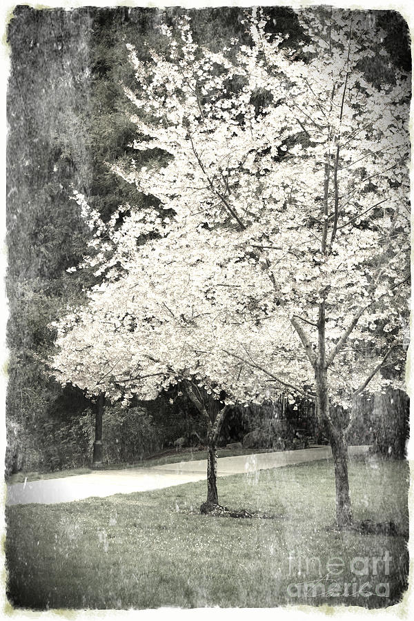 White Blooming Tree Photograph