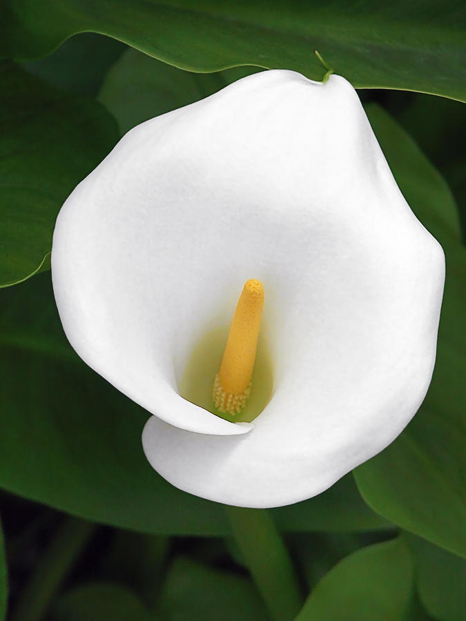 White Calla Lily Photograph