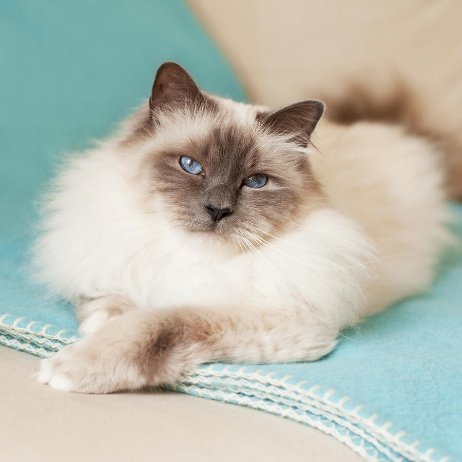 White Cat On Blue Blanket Photograph