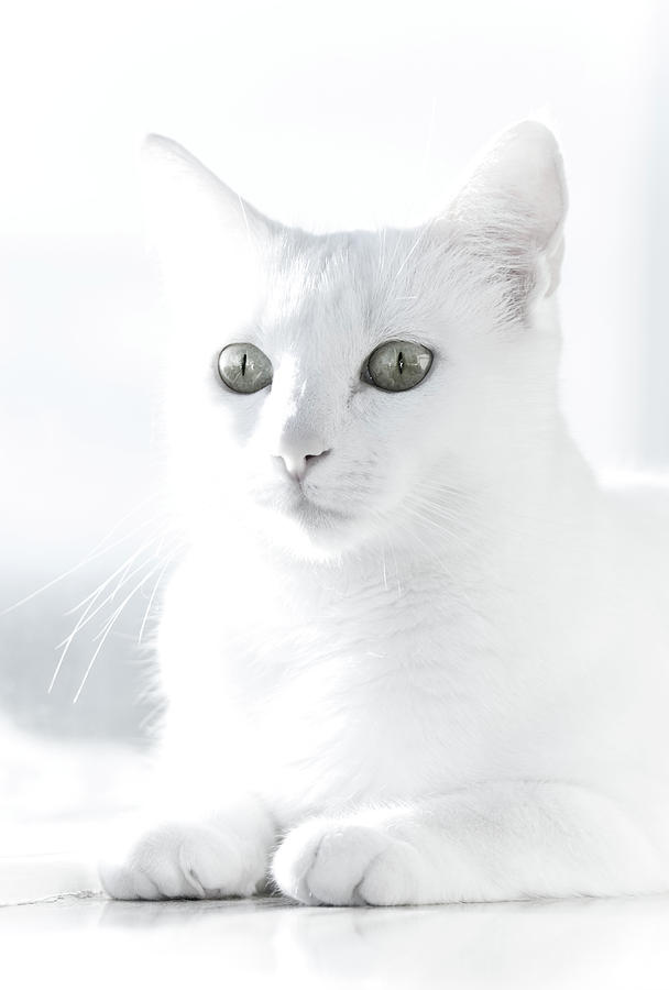White Cat Photograph  - White Cat Fine Art Print