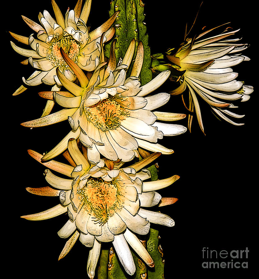 White Cereus Flowers - Digital Art  Photograph  - White Cereus Flowers - Digital Art  Fine Art Print