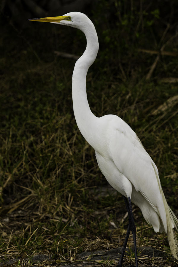 White crane bird - photo#1