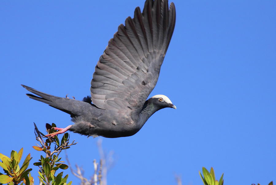 White crowned pigeon - photo#3