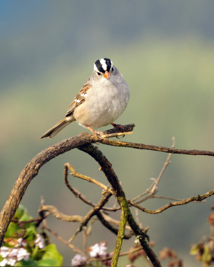 White Crowned Sparrow Photograph