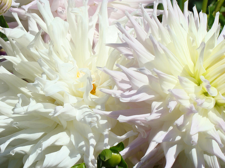 White Dahlia Flowers Art Prints Floral Photograph