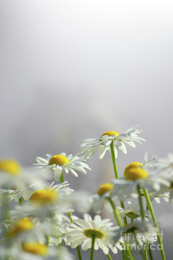 Agriculture Photograph - White Daisies by Carlos Caetano