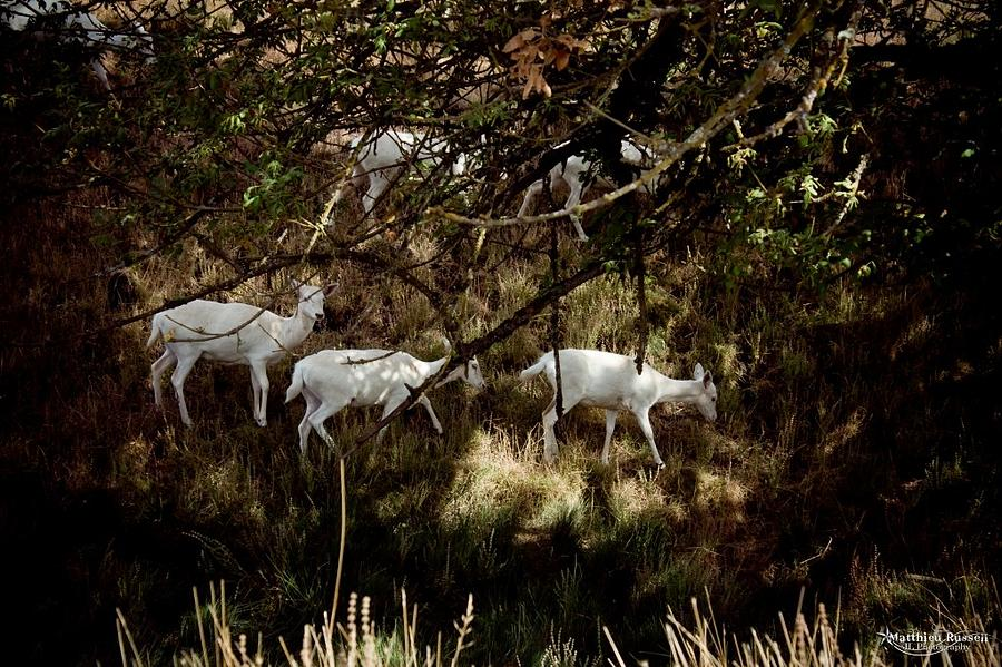 White Deer In The Woods Photograph