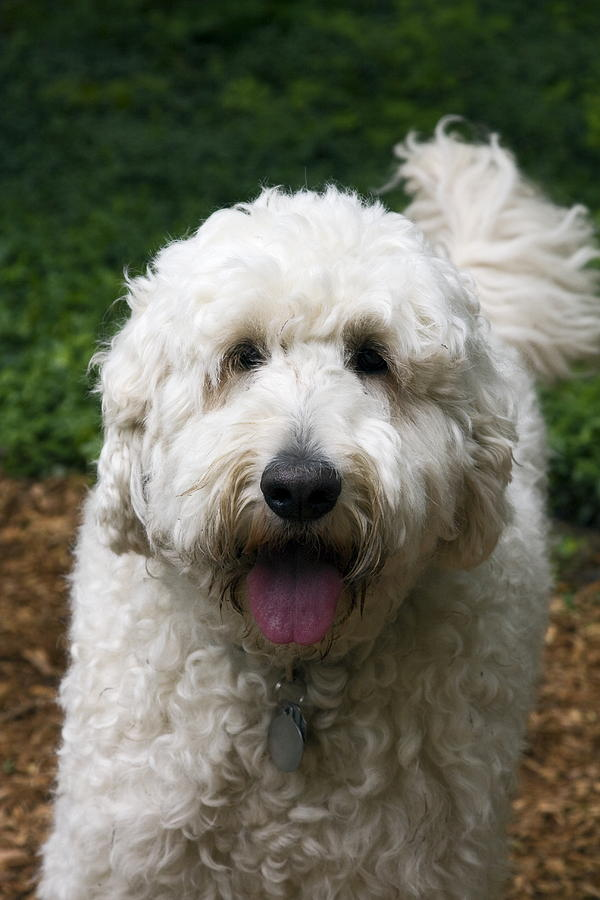 Retreiver poodle mix dog photograph white dog annie by sally weigand