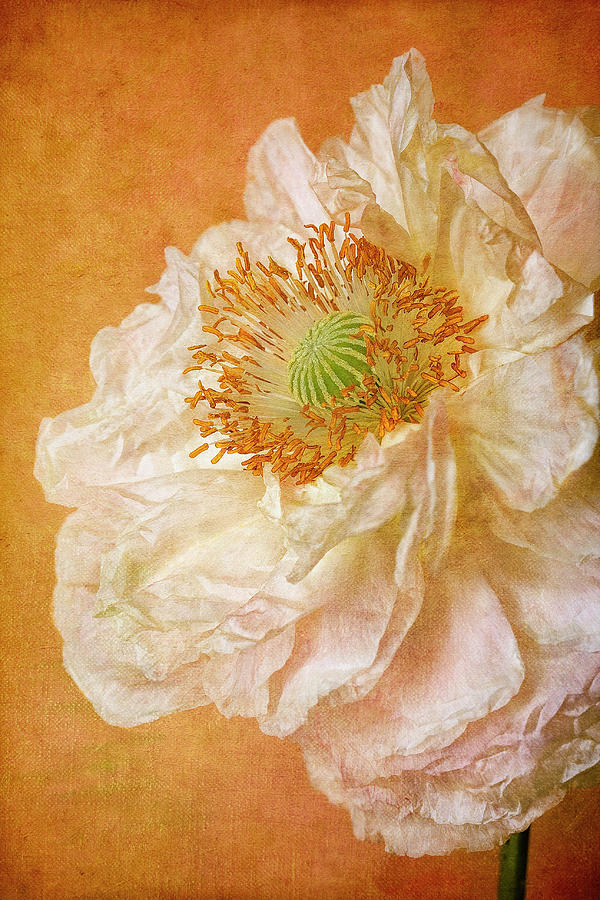 White Double Poppy Photograph  - White Double Poppy Fine Art Print