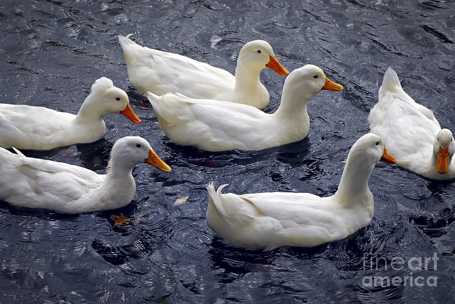 White Ducks Photograph