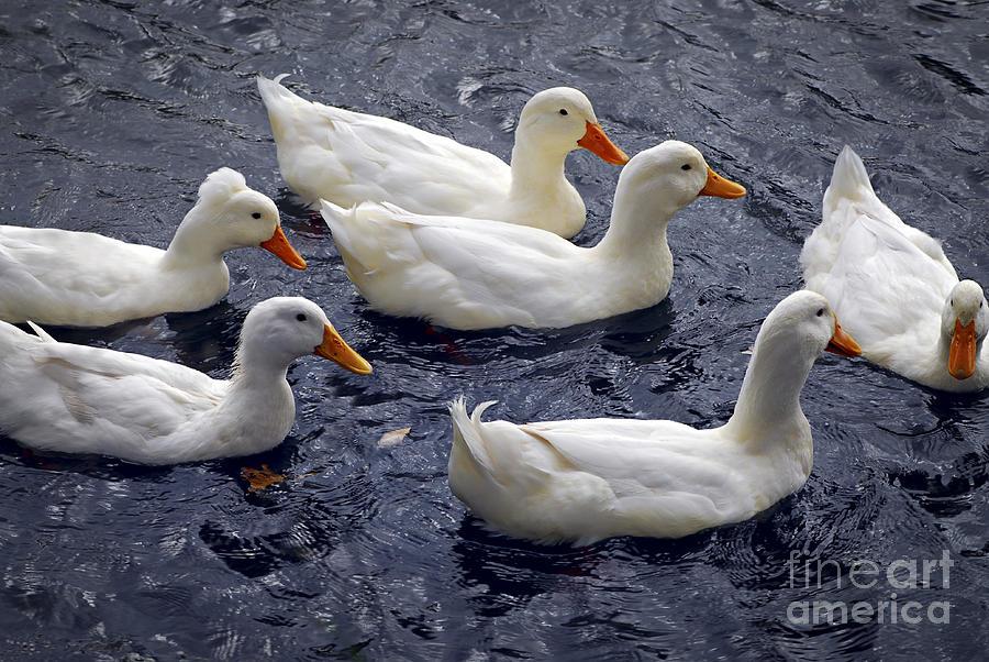 Duck Photograph - White Ducks by Elena Elisseeva