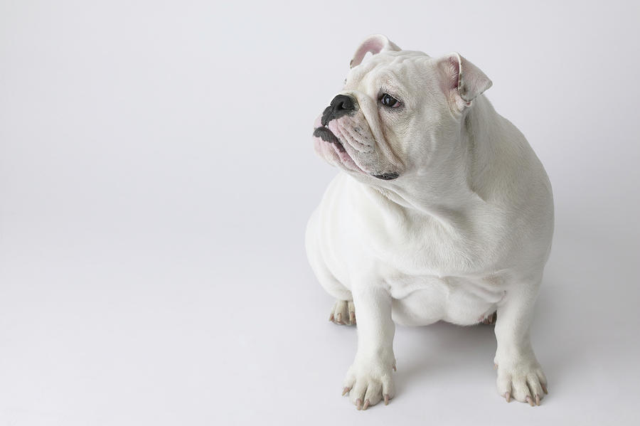 Whit English Bulldog on Pinterest | English Bulldogs ...