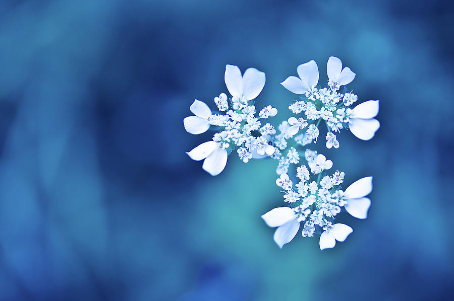 White Flowers In Blue Bokeh Photograph