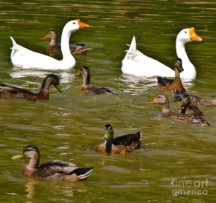White Geese And Ducks Photograph  - White Geese And Ducks Fine Art Print