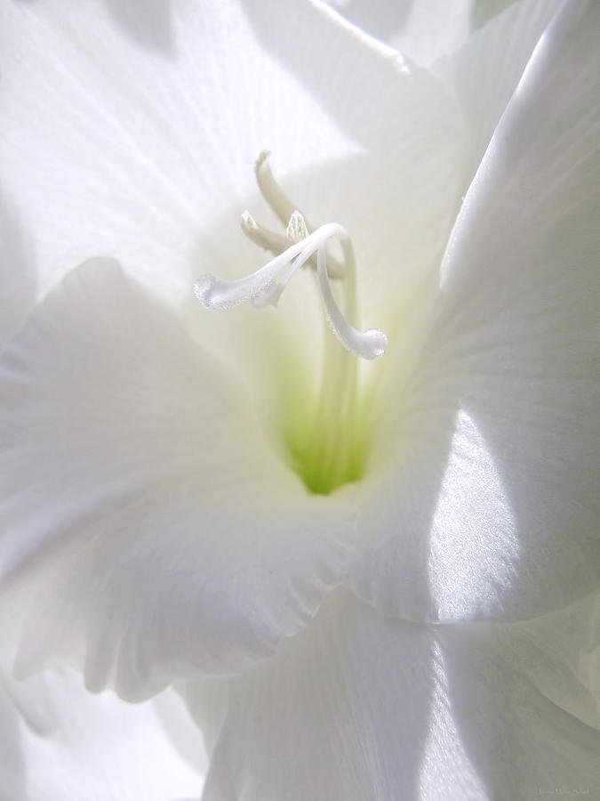 White Gladiola Flower Macro Photograph