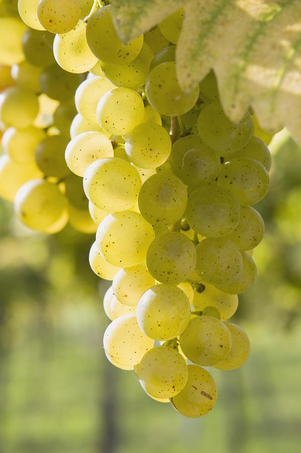 White Grapes Photograph