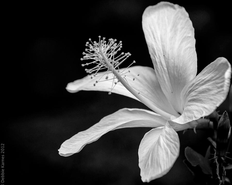 White Hibiscus Black And White Photograph  - White Hibiscus Black And White Fine Art Print