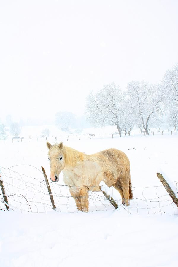 White Horse In Snow Photograph