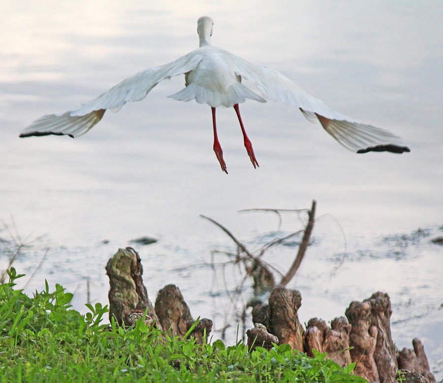 White Ibis Liftoff Photograph  - White Ibis Liftoff Fine Art Print
