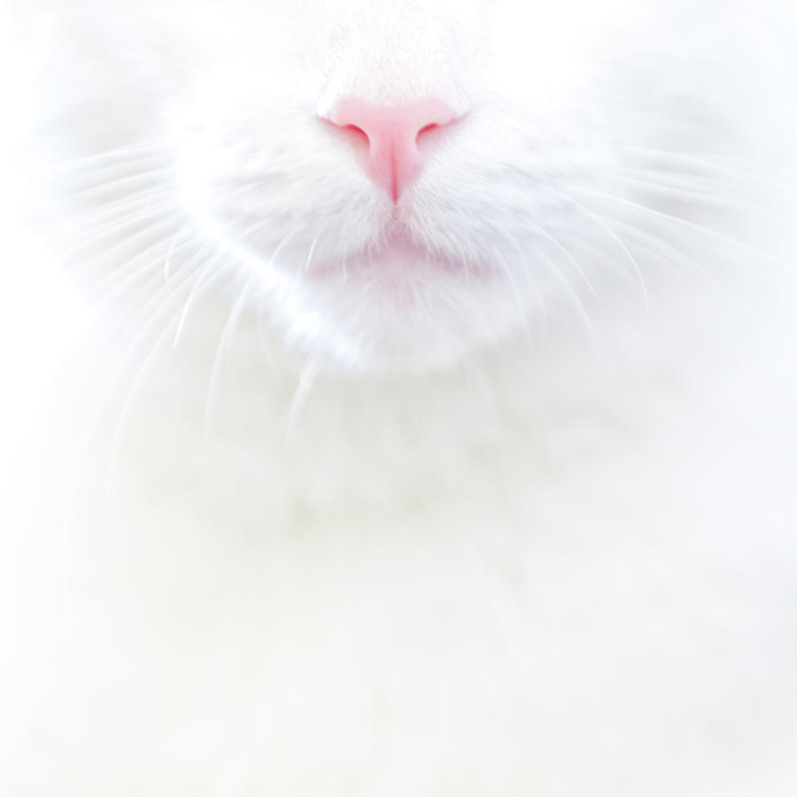 White Kitty Cat With Pink Nose Photograph  - White Kitty Cat With Pink Nose Fine Art Print