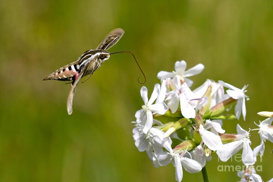 Humminingbird Moth Photograph - White-lined Sphinx Hummingbird Moth by Fred Emms