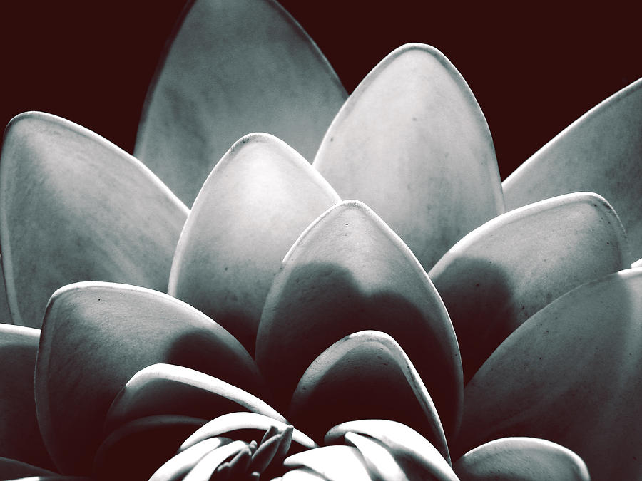 White Lotus At Dawn Photograph  - White Lotus At Dawn Fine Art Print