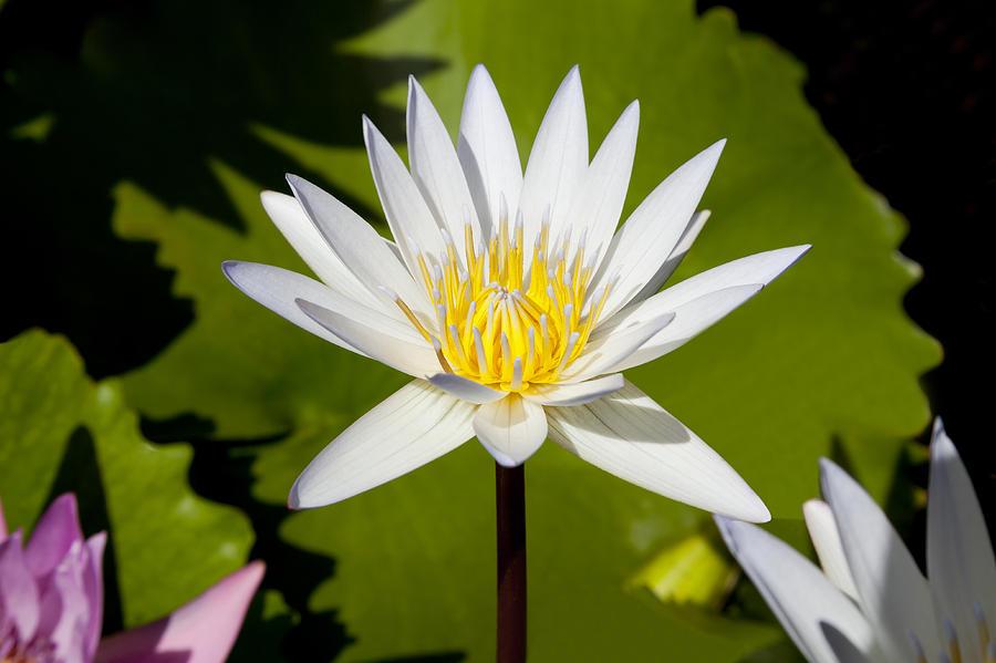 Lotus Photograph - White Lotus by Kelley King