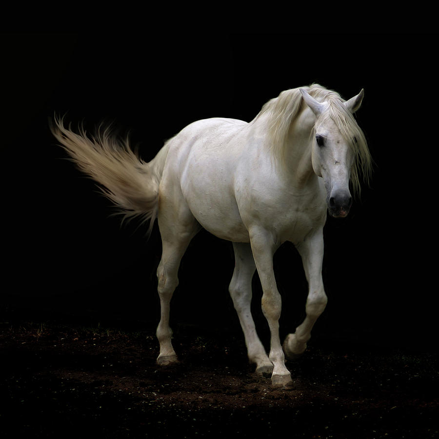 White Lusitano Horse Walking Photograph
