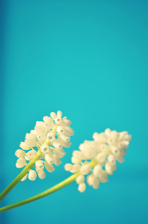 White Muscari Flowers Photograph