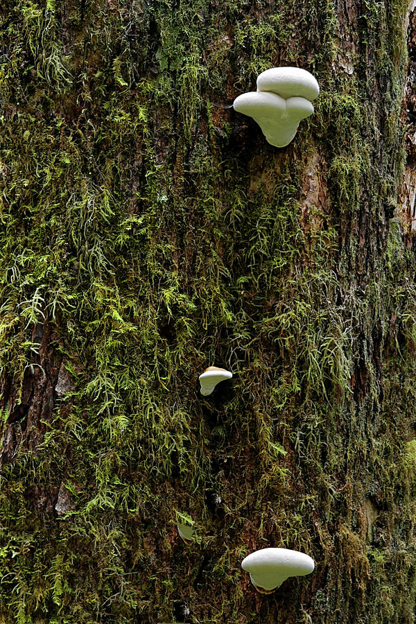 White Mushrooms - Quinault Temperate Rain Forest - Olympic Peninsula Wa Photograph