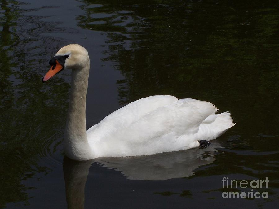 White North American Mute Swan Photograph  - White North American Mute Swan Fine Art Print