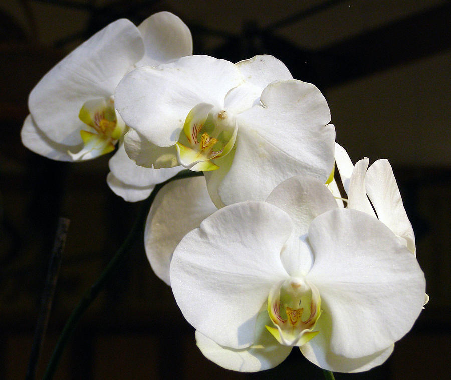 White Orchids Digital Art  - White Orchids Fine Art Print
