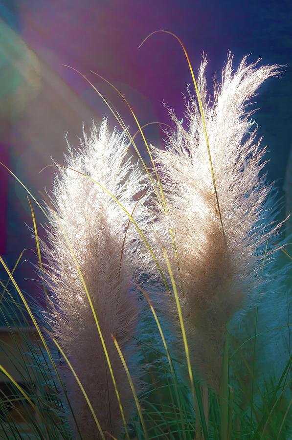 Pampas Grass Sun Religion Religious Photograph - White Pampas Grass by Richard Marquardt