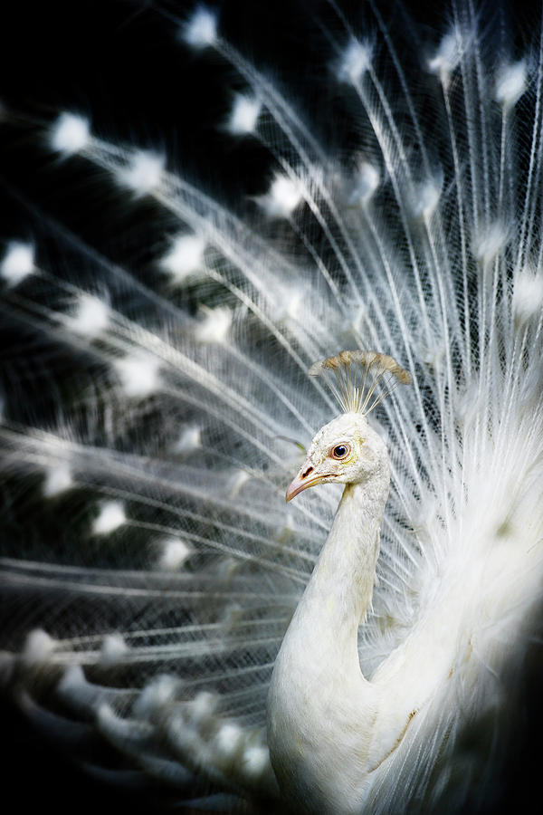 White Peacock Photograph