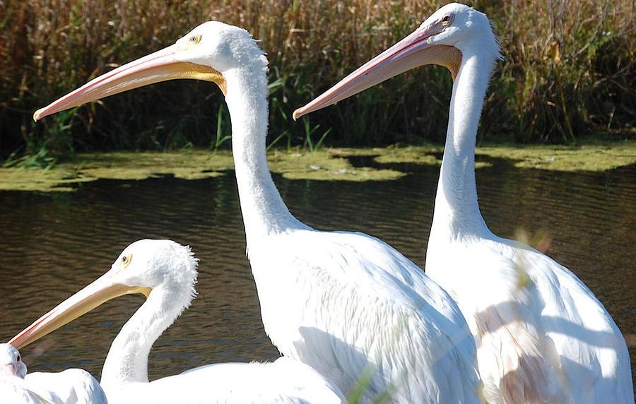 White Pelicans Photograph