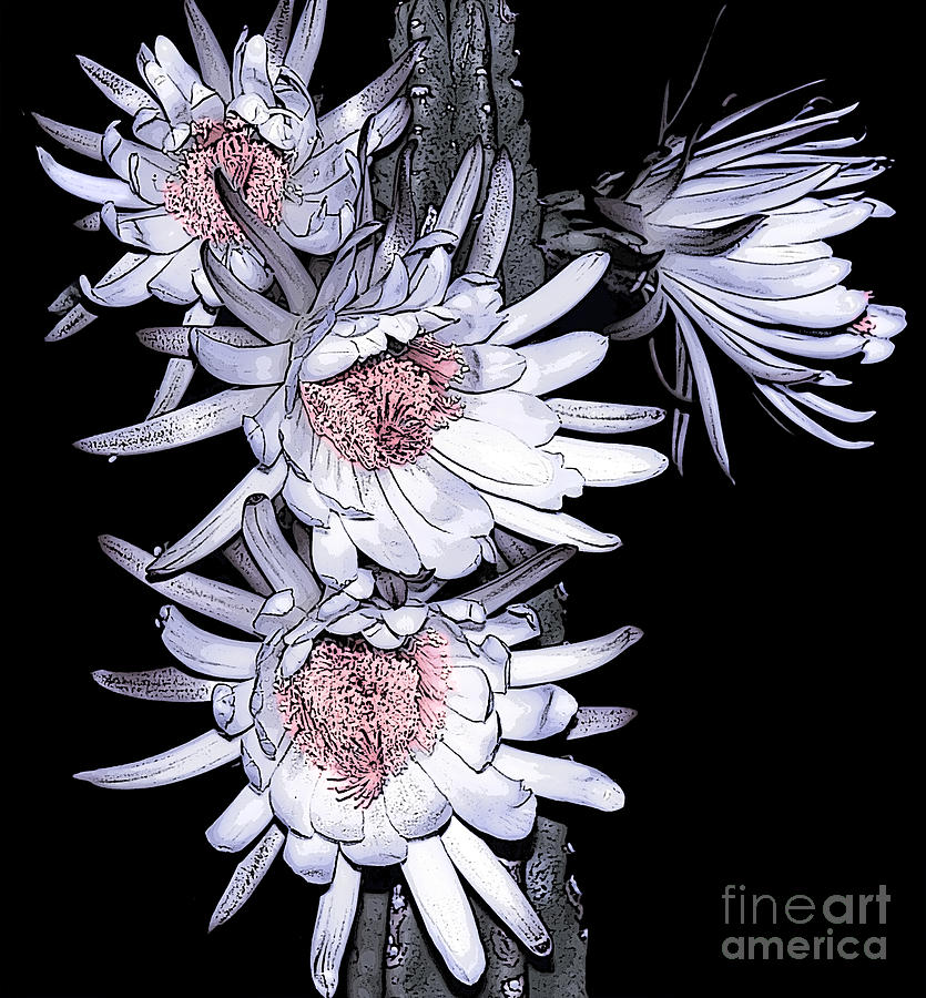 White Pink Cereus Flowers - Digital Art Photograph