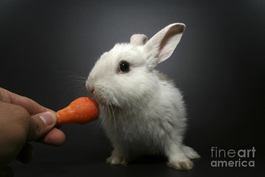 White Rabbit  Photograph  - White Rabbit  Fine Art Print