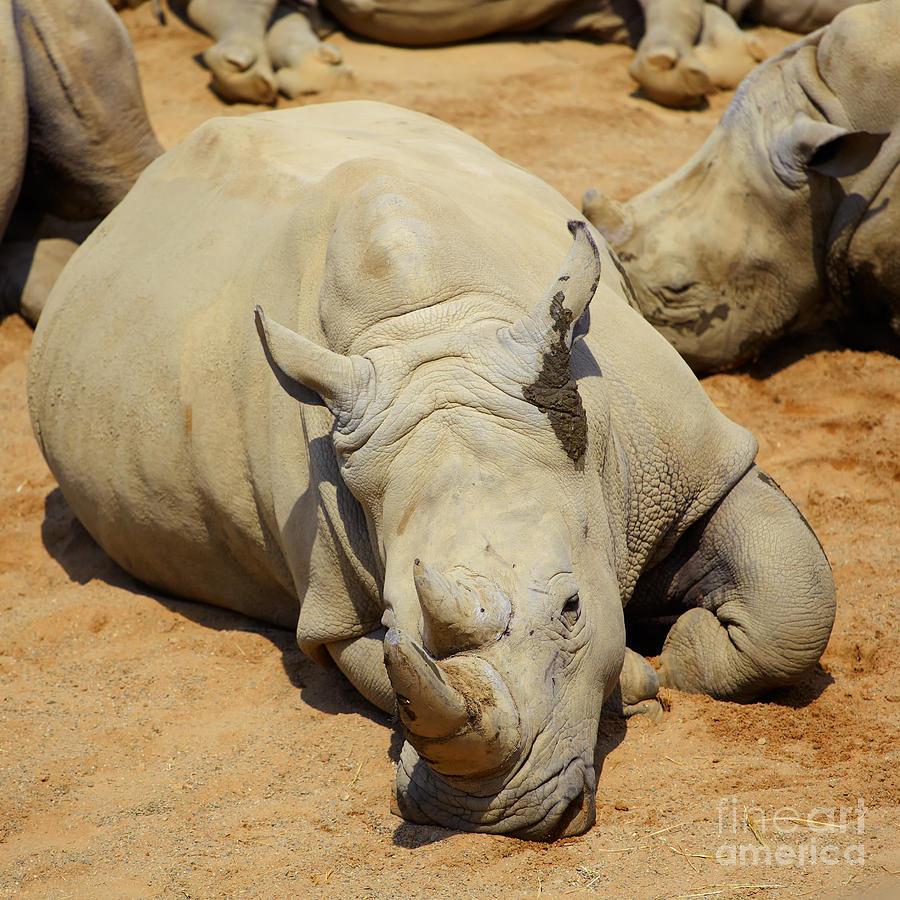 White Rhino Photograph - White Rhino Resting In The Sun by Gabriela Insuratelu