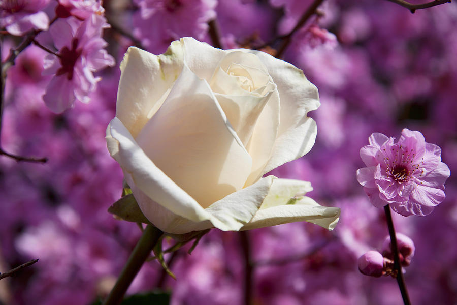 White Rose And Plum Blossoms Photograph