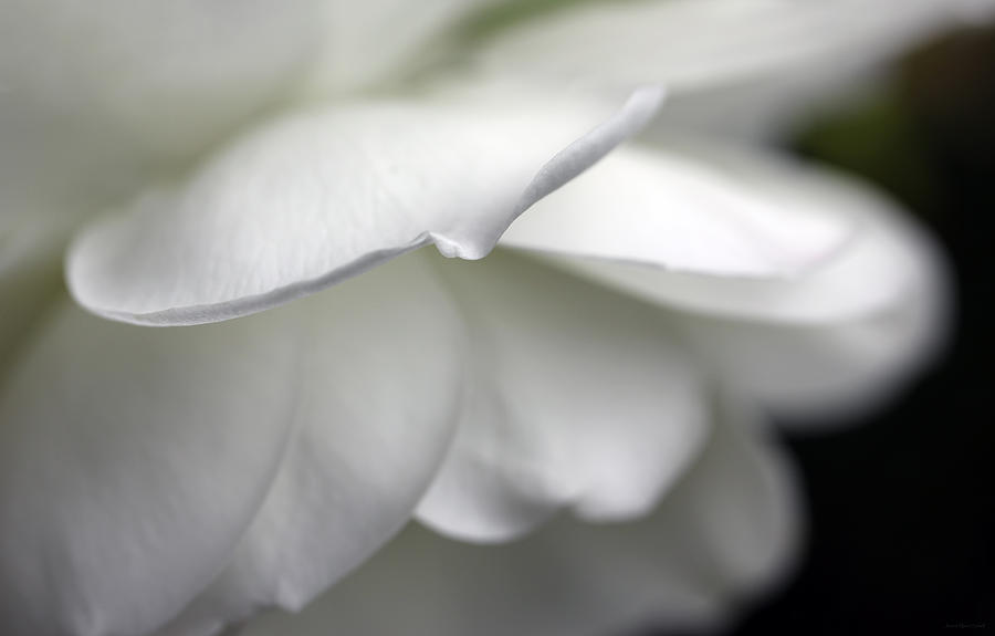 White Rose Flower Petals Photograph  - White Rose Flower Petals Fine Art Print