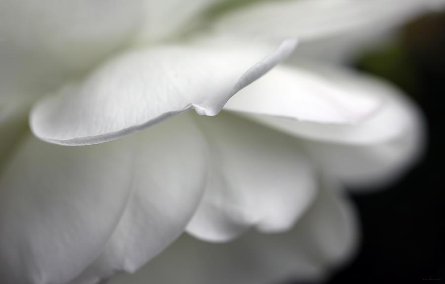 White Rose Flower Petals Photograph