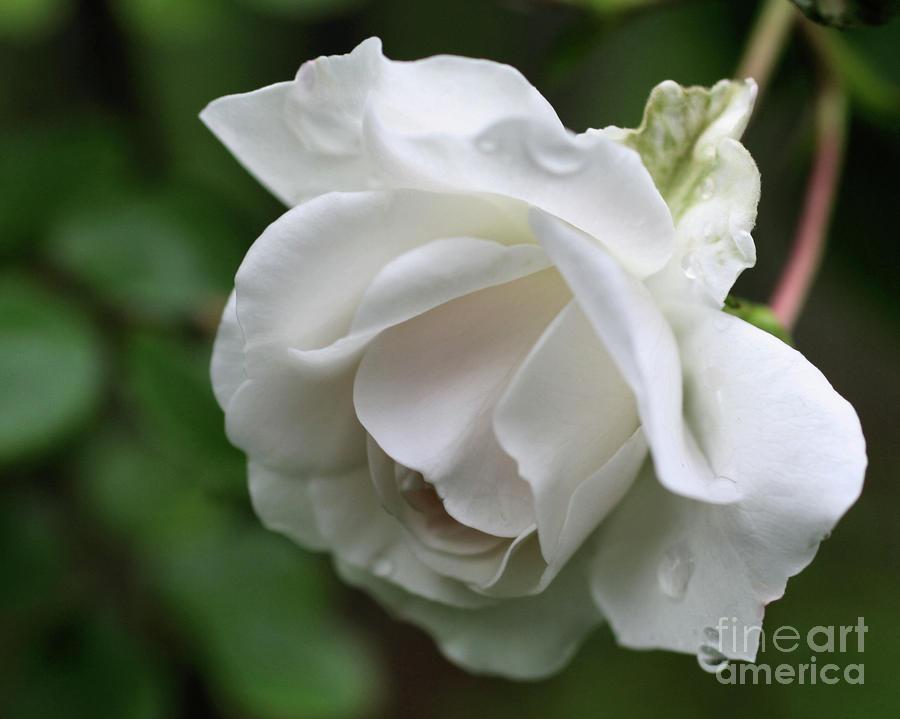 White Rose Rain...