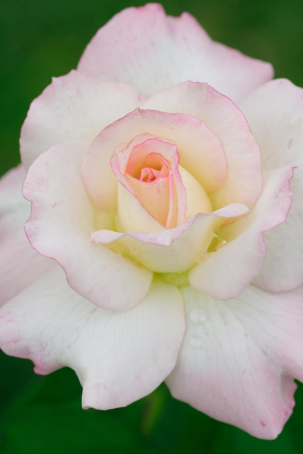 White Rose With Pink Edge Photograph