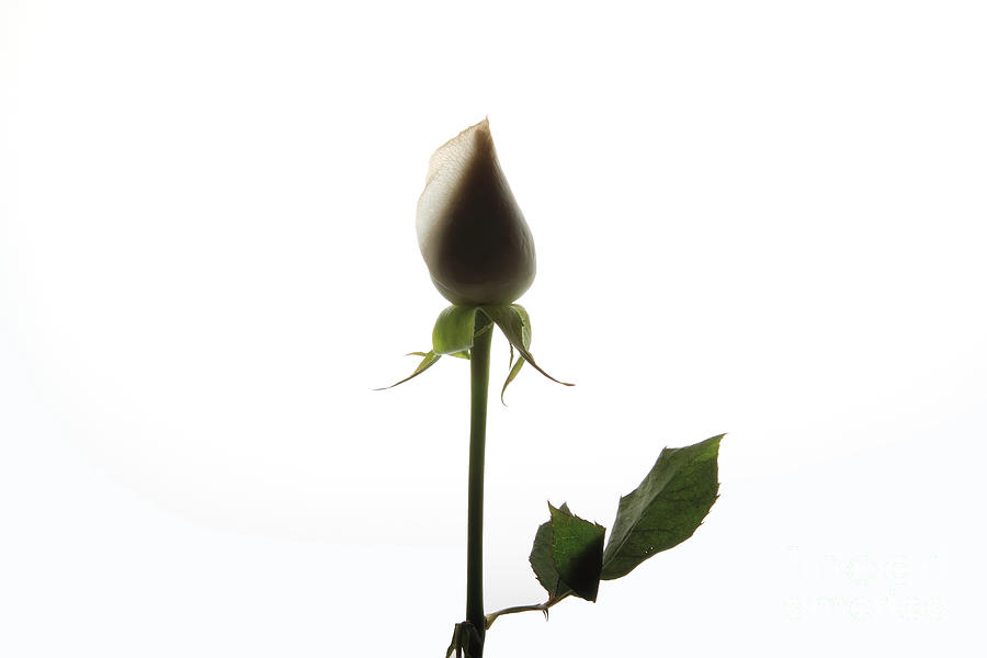 White Rose With Shadow Photograph
