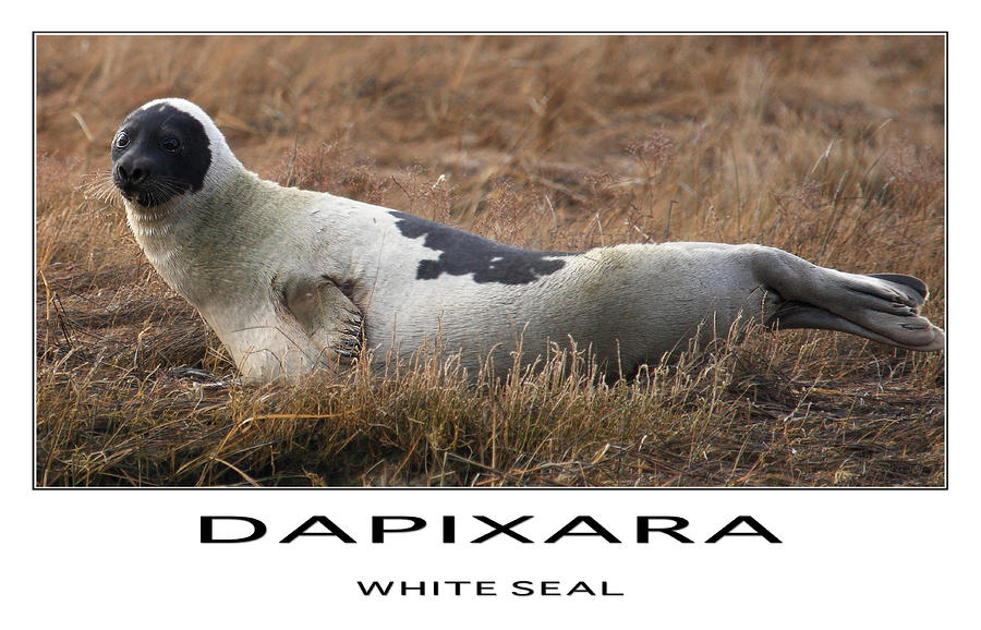White Seal  Photograph  - White Seal  Fine Art Print