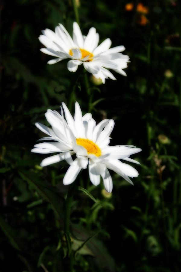 White Shasta Daisies Photograph