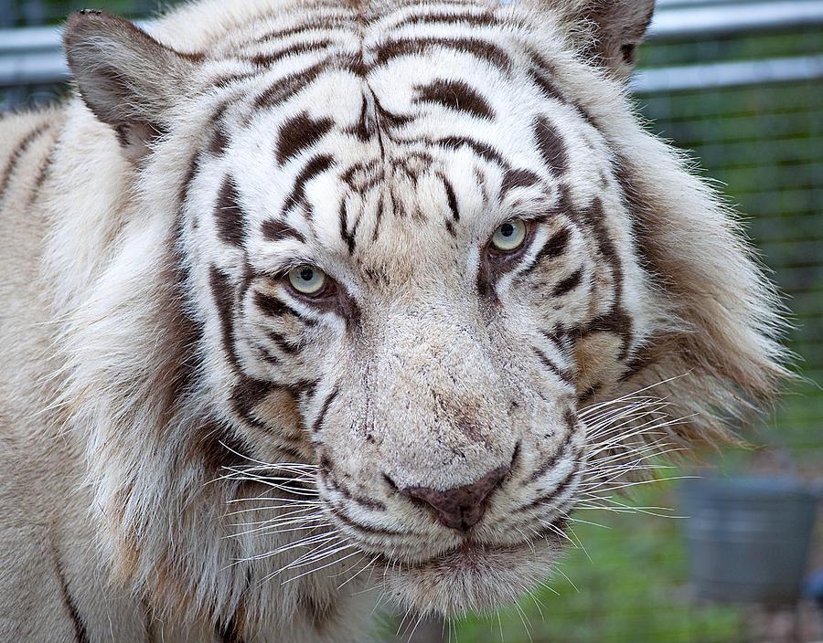 white tiger siberian