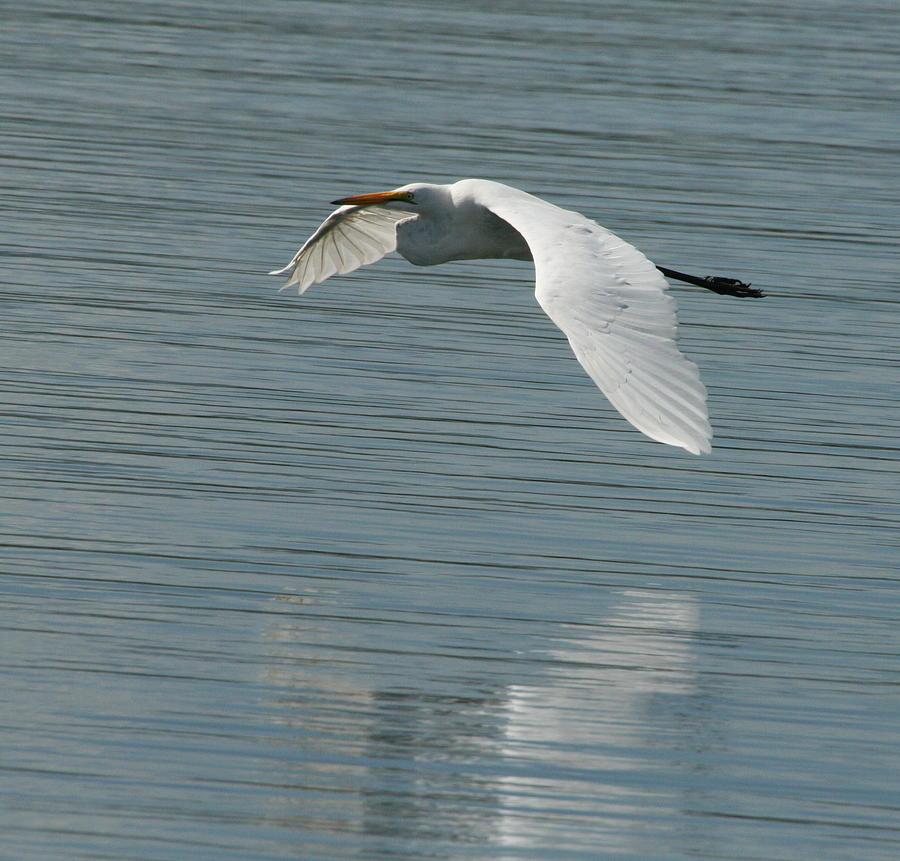White Stork - Kariba  Photograph