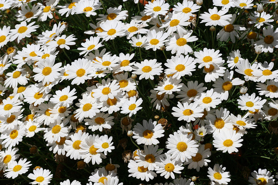 White Summer Daisies Photograph  - White Summer Daisies Fine Art Print