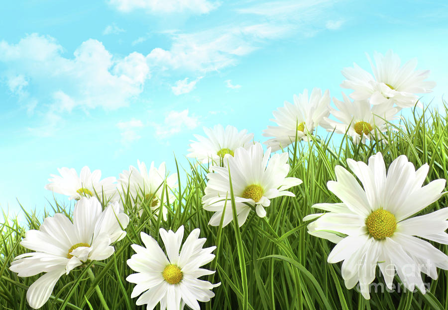 White Summer Daisies In Tall Grass Photograph